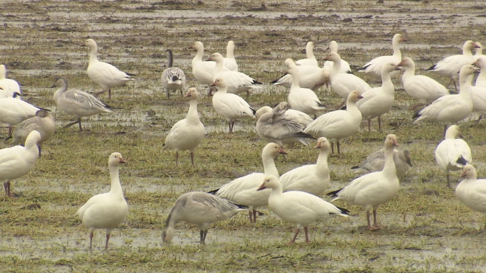 The growing snow geese population in Richmond is causing problems for farmers and residents. Nov. 19, 2012. (CTV)