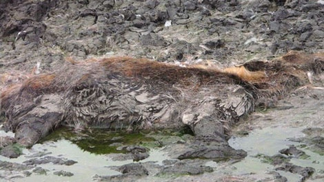 A caribou lies dead on an abandoned oil and gas site near Fort St. John, B.C. Nov. 12, 2010. (CTV)