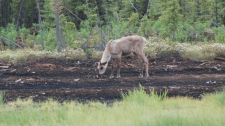 A caribou grazes at an abandoned oil and gas site near Fort St. John, B.C. Nov. 12, 2010. (CTV)