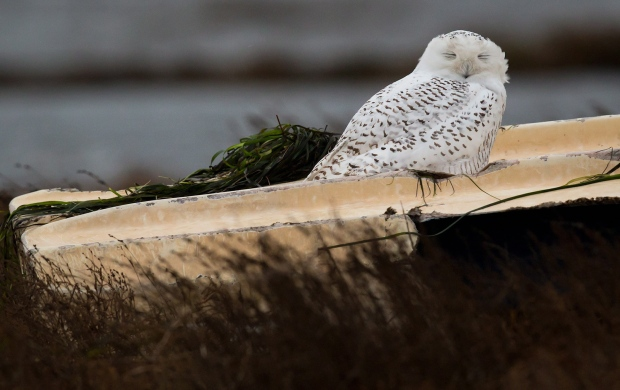 Snowy owls rests  inBoundary Bay in Delta, B.C.,