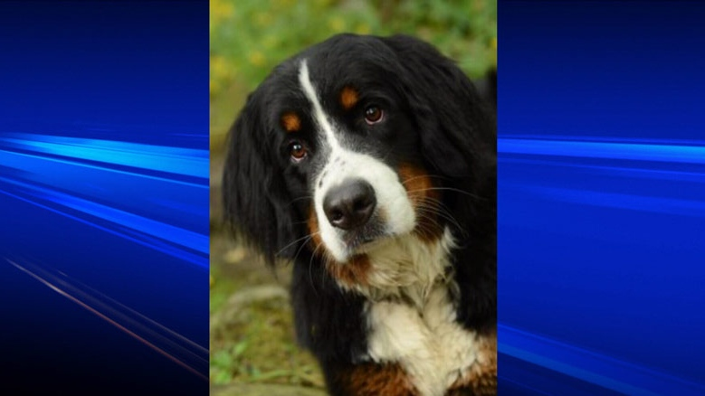 Ohly, the Bernese mountain dog that went missing for nearly two weeks, was found on Saturday. December 8, 2012. (CTV)