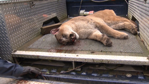 Cougar shot