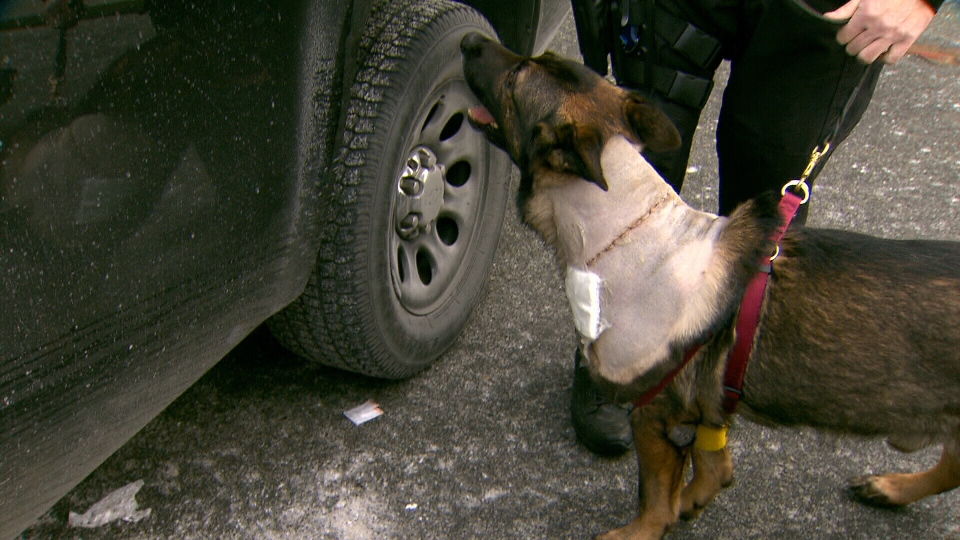 Police dog 'Teak' was released Jan. 13, 2013, from an animal hospital after getting slashed in the neck by a robbery suspect. (CTV)