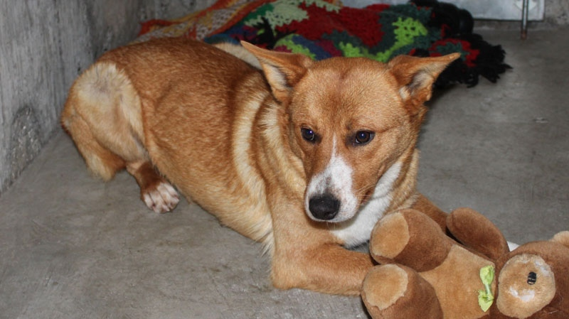 A female heeler-cross dog needed antibiotics after surviving in a dumpster for days by eating a moose carcass. (BC SPCA)