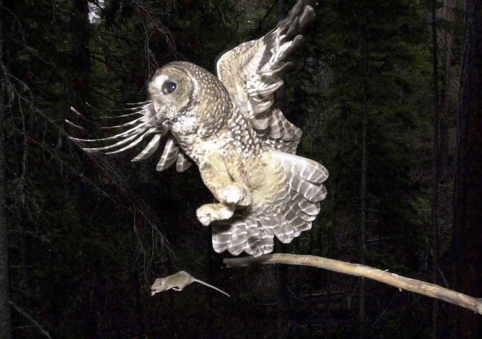 In a May 8, 2003, file photo, a northern spotted owl named Obsidian by U.S. Forest Service employees flies after an elusive mouse jumping off the end of a stick in the Deschutes National Forest near Camp Sherman, Ore. (AP Photo/Don Ryan, file)