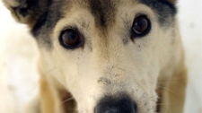 The B.C. SPCA is investigating reports that Outdoor Adventures Whistler slaughtered at least 100 sled dogs and dumped their bodies in a mass grave. (adventureswhistler.com)