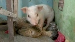 Extended: Motherly cat adopts rejected piglet