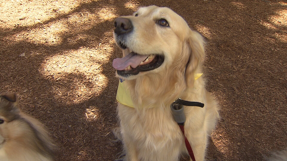 Three years after he was found nearly starved to death, Trooper the golden retriever is thriving, and even a bit overweight. Aug. 8, 2013 (CTV)