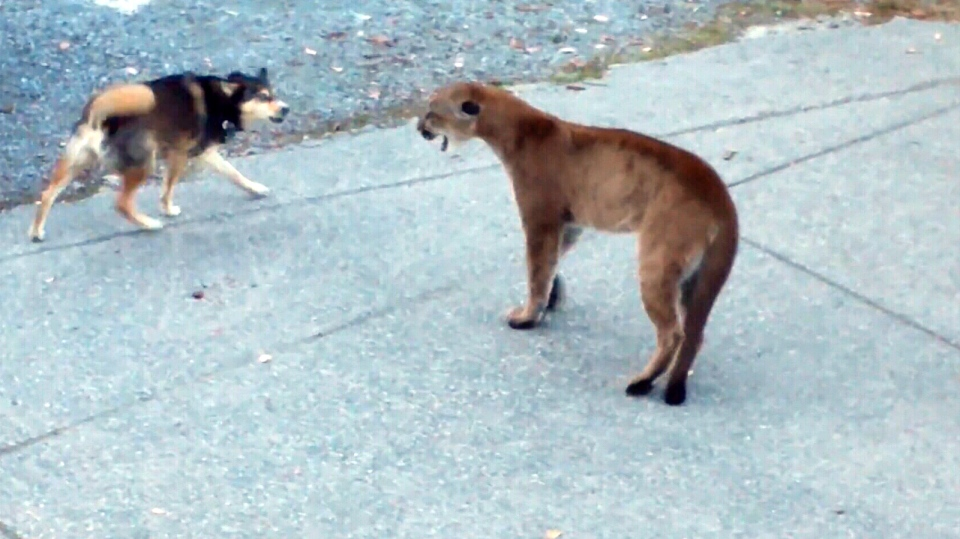 A YouTube video shows two dogs trying to chase away a hissing cougar near Victoria, B.C. Police have previously warned residents of the city that a cougar may be on the prowl. Sept. 3, 2013. (CTV)