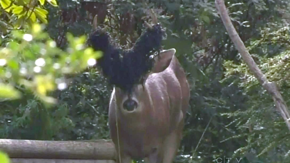 A deer on Vancouver Island got its antlers tangled in plastic garden netting in early September. (CTV)