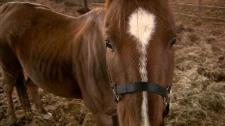 Emaciated horses seized