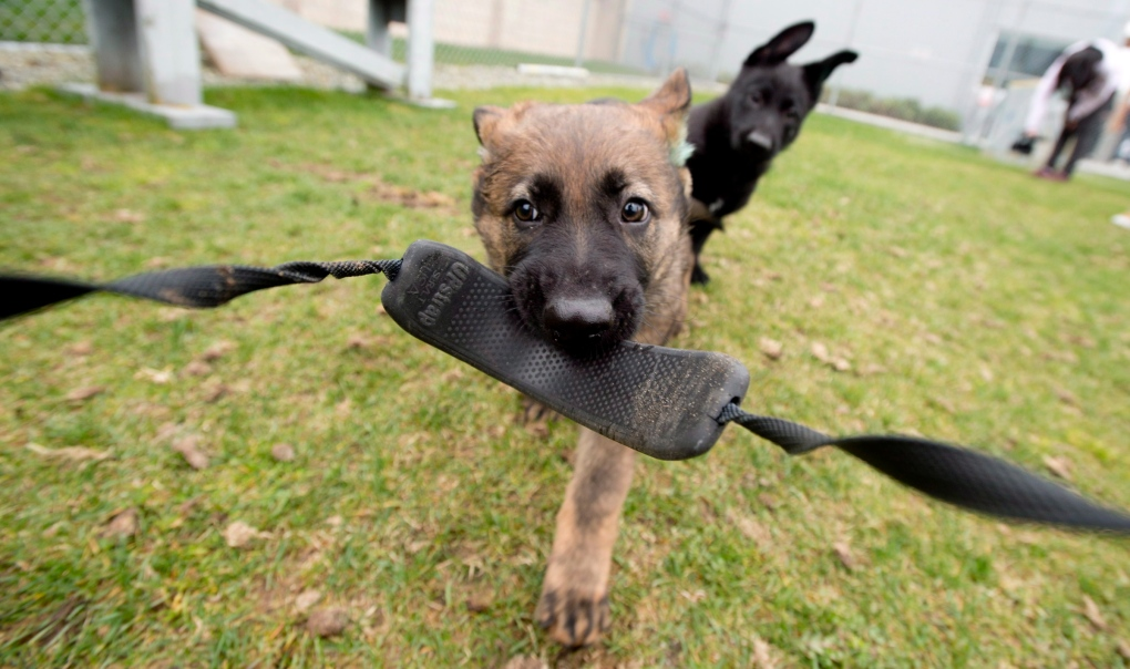 Vancouver Police Show Off New K9 Recruits Ctv Vancouver News