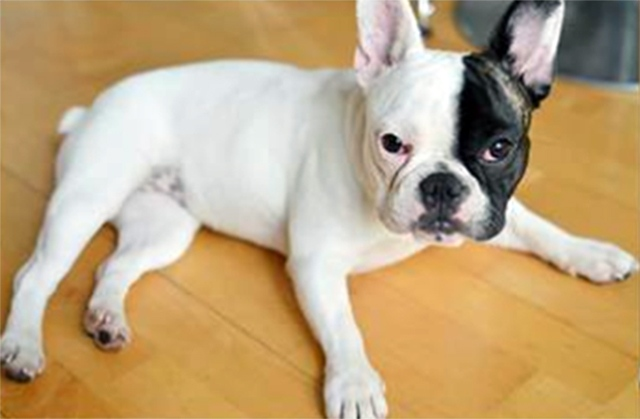 A manager at a Vancouver tattoo parlour is asking the public for help after her 10-month-old French Bulldog was apparently nabbed by a woman at her workplace. (Facebook)