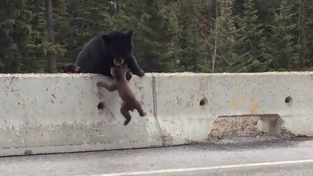 Bear saves cub