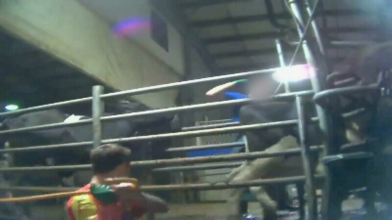Chilliwack Cattle Sales workers hit a cow in this undercover video shot by Mercy for Animals Canada in May 2014.