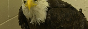 Eagle has 4-inch skewer removed from its stomach