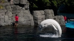 The Vancouver Park Board is considering a plebiscite on whale and dolphin captivity at the Vancouver Aquarium following the deaths of two belugas last year. (THE CANADIAN PRESS/Darryl Dyck)