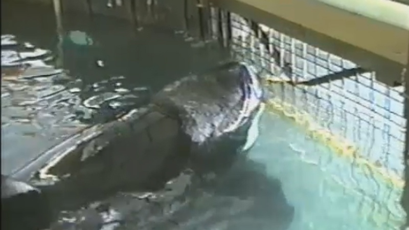 Tilikum is seen in a 31-foot pen at Sealand in Victoria, B.C. in footage unearthed through an access to information request.