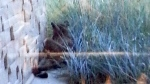 A cougar spotted on the ground of Calgary's South Hospital lounges in the grasses just outside the building, Thursday, Sept. 18, 2014.