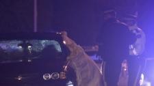 A pedestrian was hit by a car in Surrey, B.C. early Saturday morning. Feb. 18, 2012. (CTV)