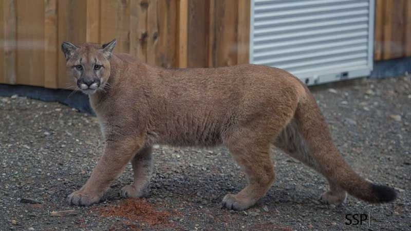 sapelo island cougars dating site Tracking the wild cattle of sapelo island  dating back to more  this is about all you'll see of a recent presence of the feral cattle on sapelo island: .