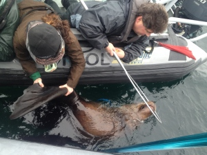 A large male Stellar sea lion is cut loose from a plastic ring off the B.C. coast as part of an ongoing project by the Vancouver Aquarium and the Canadian Wildlife Federation. Jan. 26, 2015. (Photos courtesy Vancouver Aquarium)