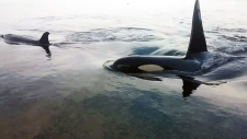 CTV Vancouver: Orca video surprises scientists