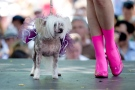 Monica, a Chinese crested dog, sports a tutu on the runway at a fashion show during the outdoor dog festival Woofstock in Toronto on Sunday, June 10, 2012. (THE CANADIAN PRESS/Michelle Siu)
