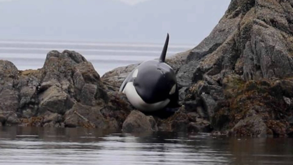 Killer whale swims free after hours stranded on sharp for Landscaping rocks vancouver