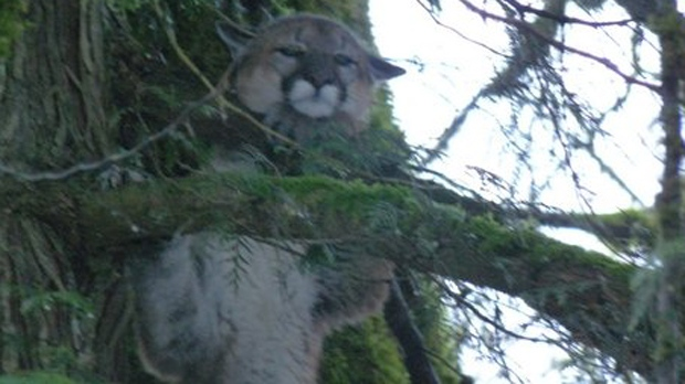 A cougar believed responsible for killing numerous pets in Hope, B.C. was shot by conservation officers on Jan. 18, 2016. (Handout).