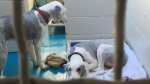 Two of the dogs seized as part of a massive cruelty probe in Langley, B.C. (Sheila Scott/CTV)