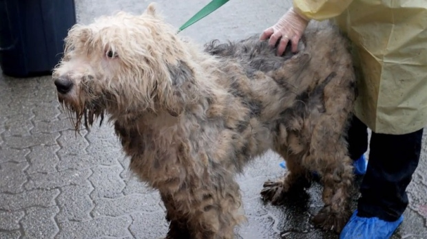 One of the dogs seized as part of a massive cruelty probe in Langley, B.C.