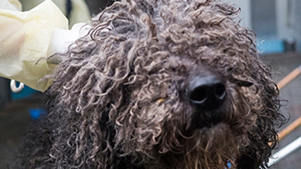 The purebred and designer canines were taken into BC SPCA custody amid widespread allegations of puppy mill practices.  The dogs, many suffering physical and psychological problems, are under around the clock vet care and are not yet adoptable. (CTV/SPCA photos)