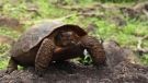 This 2013 photo shows the Goode's Thornscrub Tortoise (Taylor Edwards)