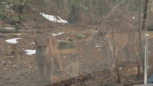 A British Columbia man was trapped in his car for about 20 minutes as three cougars prowled around his vehicle on Vancouver Island. (nashzilla1 / YouTube)