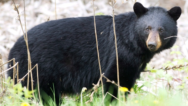A black bear roams the forest in this May 2012 file photo. (Nathan Denette / THE CANADIAN PRESS)