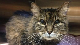 Becky is a 15-year-old feline looking for a furr-ever home; Animal ID: 391730. (BC SPCA/604-879-7721).