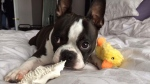 Megan Hadley says someone broke into her home and stole her three-year-old Boston Terrier, Homer. (Megan Hadley/Facebook)