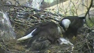 A webcam monitoring a bald eagle nest in Pittsburgh livestreamed some dramatic footage when a bird brought what appears to be a dead kitten to their nest to feed their young. (YouTube)