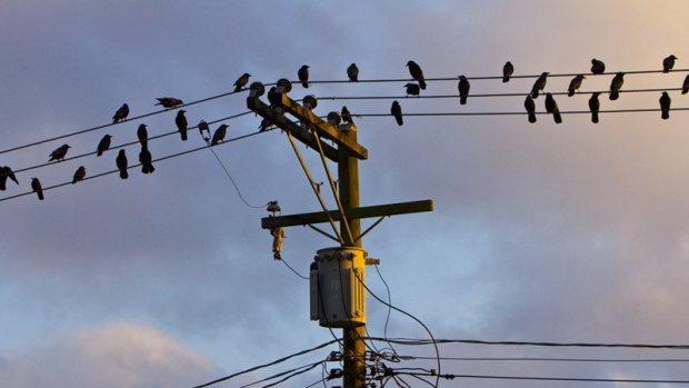 Several crows roost on Vancouver power lines. (Steve McConnell/CTV)