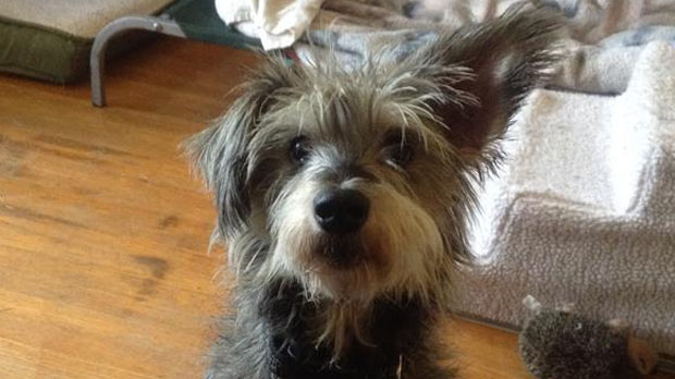Mikey is a seven-year-old male pooch looking for a forever home; Animal ID: 365894. (Vancouver SPACA/604-879-7721).