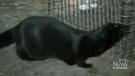 CTV Kitchener: More mink released