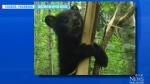 Bear cub in sticky situation rescued