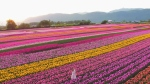 Extended flyover of Abbotsford Tulip Festival