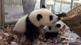Unhelpful pandas disrupt leaf cleanup