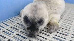 Premature seal pup rescued by aquarium