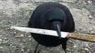 'Canuck' the crow holds a knife in this photo from Facebook.