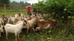 They're hungry, eat almost anything, and have four legs: meet the goats that are revolutionizing the way weeds are controlled in the Fraser Valley. (CTV News).