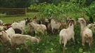Hungry goats help eliminate invasive plants