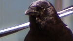 Vancouver, beware: Peak crow attack season is here
